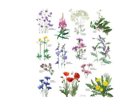(Polski) Kwiaty polne
